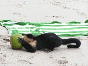 aapje-strand-kokosnoot