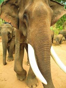 Ein Elefant im Camp von Kalaw