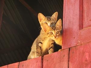 Myanmar Individualreise - Neugierige Katzen in Kyaukme