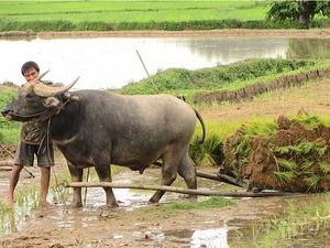Myanmar Individualreise - Mit dem Wasserbüffel Felder pflügen