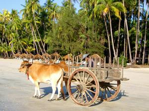 Ochsenkarren am Ngapali Beach