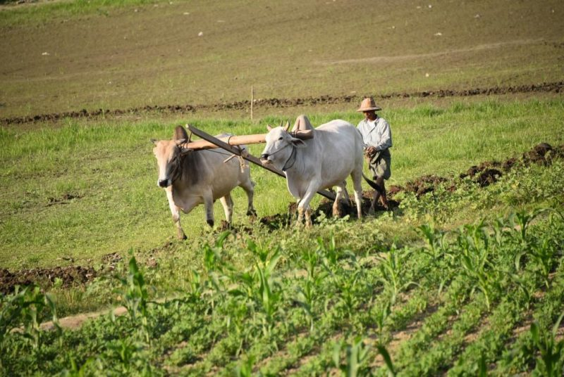 Ochsenkarren bei der Feldarbeit