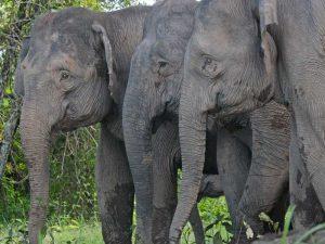 Elefanten am Kinabatangan Fluss