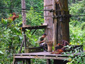 Orang Utans bei der Fütterung