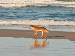 Dingo op Fraser Island