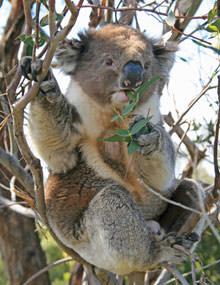Koala vakantie Australie