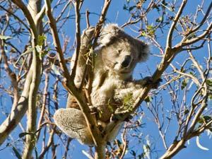 Australie rondreis magnetic island koala