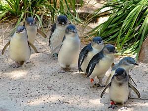 Pinguins bij Bicheno