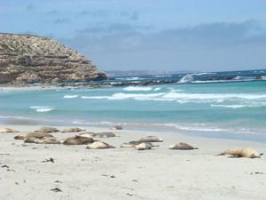 Kangaroo island Seal bay