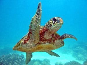 Zeeschildpad in het Ningaloo Reef Marine Park