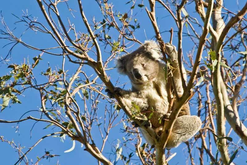 Koala - reis Australië
