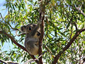 Australie-reis Koala