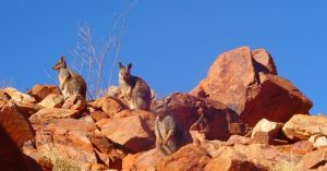 Wallabies Outback
