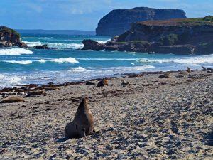 Zeeleeuwen Australie
