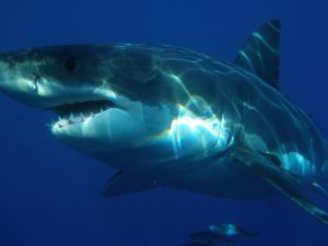 Witte haai Australië