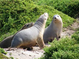 zeehonden bij Seal Bay