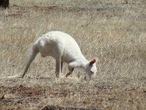 witte Bennet wallabie