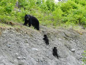 """Bärenmutter mit ihren """"cubs"""""""