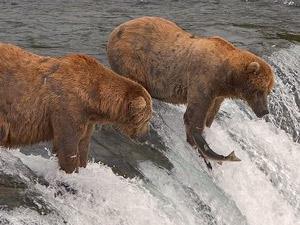 Einmaliges Erlebnis: Grizzley Bären am Fluss