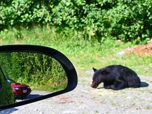 3 Wochen Westkanada-Bär