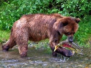Grizzley Bär bei Fish Creek auf Fischfang