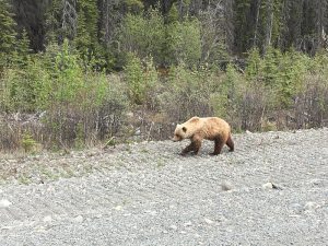 Bär-Beobachtung bei Yukon Reise mit Alaska