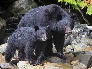 Schwarzbären im Pacific Rim Nationalpark bei Kanada Reise ab Calgary