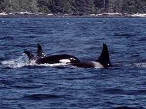 Walbeobachtungstour bei Kanada Rundreise ab Vancouver