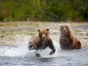 Bären im Katmai auf Fischfang Copyright: Chris McLennan