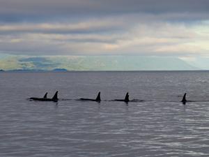 Orcas in der Johnstone Strait Credit: Darren Robinson