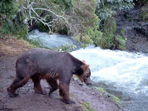 Braunbär im Katmai Nationalpark