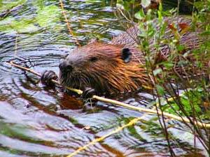 Tiere beobachten in Jasper Nationalpark bei Vancouver Calgary Rundreise