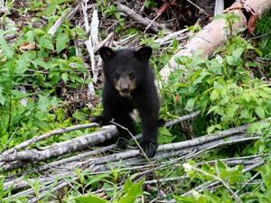 kanada-schwarzbaeren-baby
