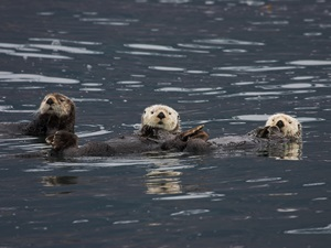 Otter im Prince William Sound