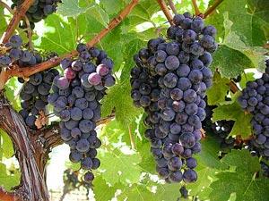 Weinanbaugebiet im Okanagan Valley