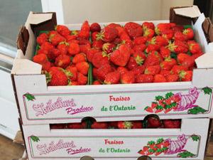 Algonquin Provincial Park-erdbeeren