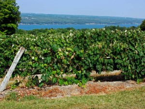 USA New York State Finger Lakes Wein