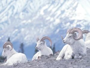 Tachäl Dhäl Dall Schafe Alaska Rundreise