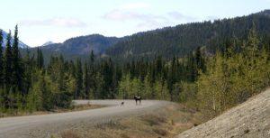 Elchkuh & Kalb im Yukon Territorium