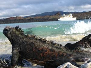 Meerechse auf Felsen mit Schiff im Hintergrund