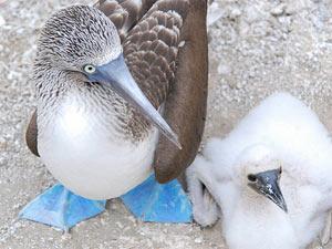 Blaufußtölpel mit Nachwuchs