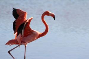 Flamingo stolziert im See