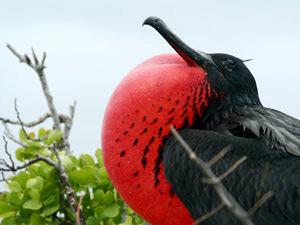 Fregattvogel mit roter Brust