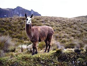 Lama im El Cajas Nationalpark