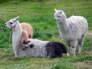 Lamas in der Umgebung der Hazienda beim Cotopaxi