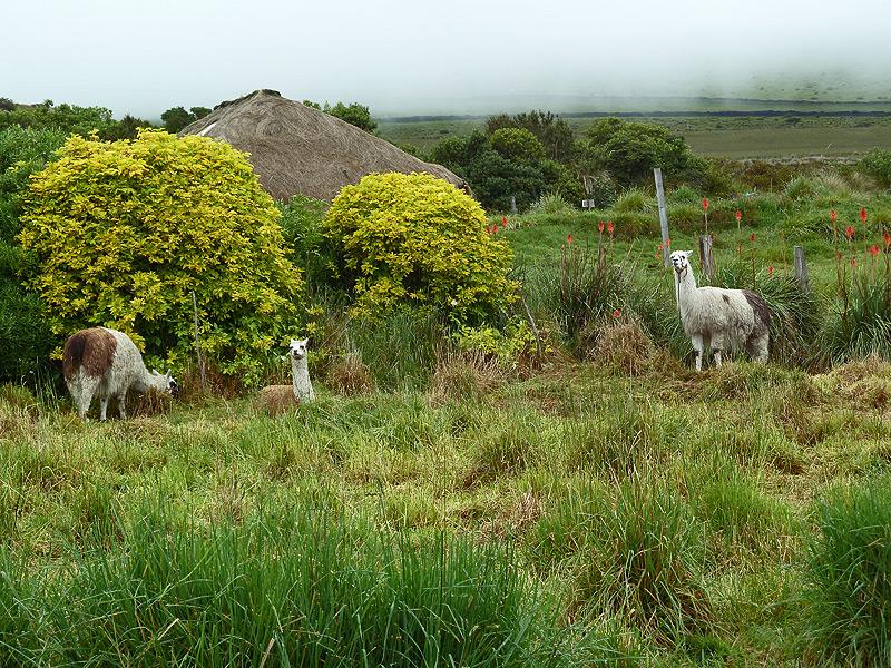 Lamas in der Umgebung der Hacienda
