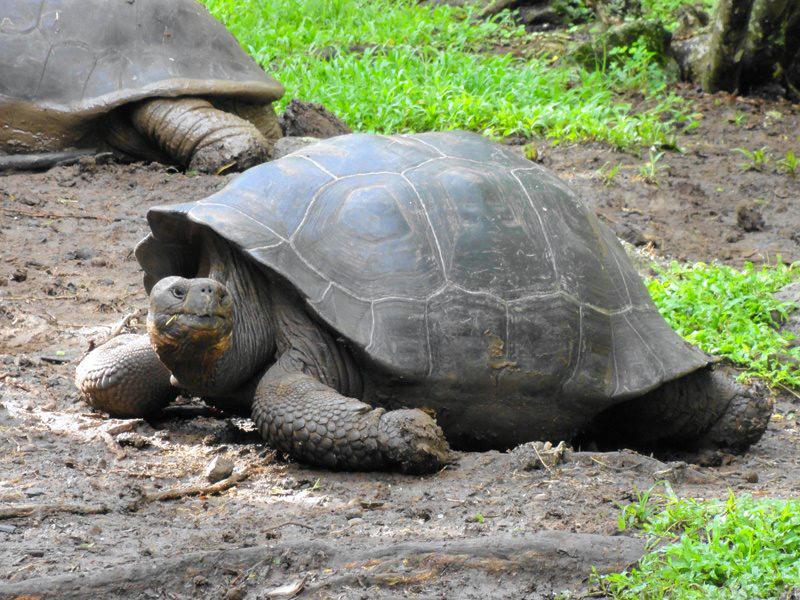 Eine Riesenschildkröte auf Galapagos.