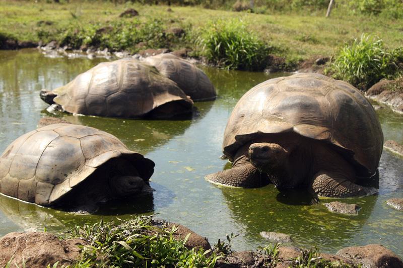 Schildkröten beim Galapagos Inselhopping