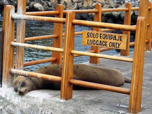 Seelöwe auf Steg