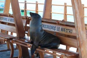 Seelöwe ruht sich auf Bank am Hafen aus